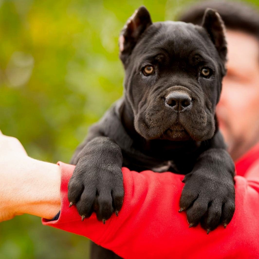 Pin By Ali Wagner On Dog Breed Cane Corso Cane Corso Puppies Cane Corso Dog Corso Dog