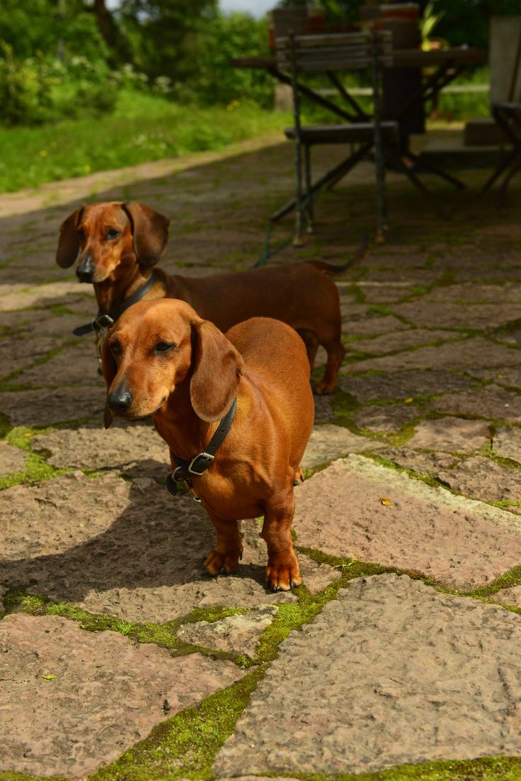 Beautiful Portrait Of Two Dachshunds Dachshund Breed