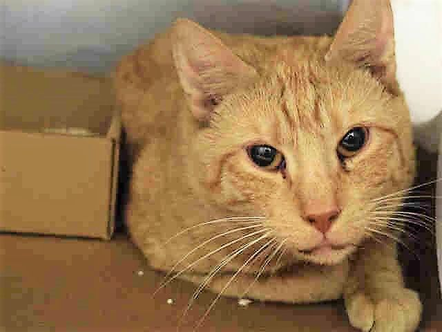 KERMIT – A1107620 - 2yrs MALE, ORG TABBY / WHITE, DSH - KERMIT CAME IN WITH 5 OTHER CATS WHO WERE ABANDONED AT BACC
