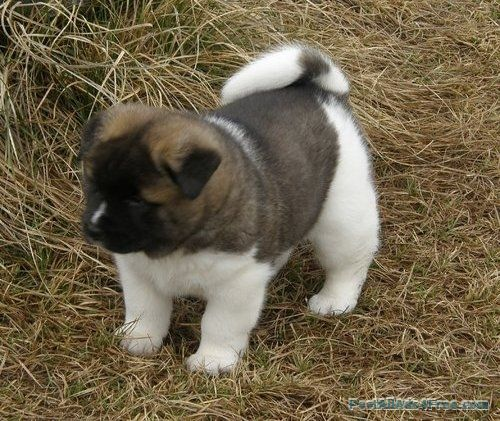 Top Line Kc American Akita Pups For Sale Free Classified Ad