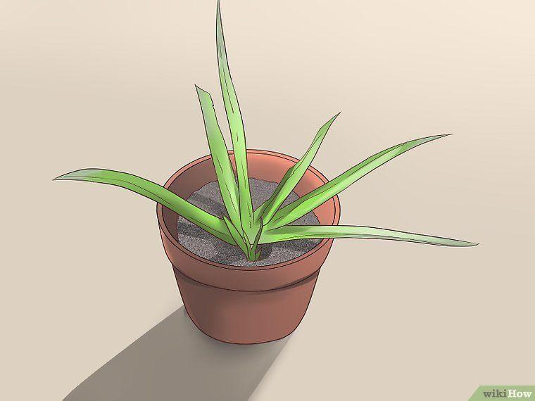 Titel Afbeelding Plant Aloe Vera Step 16 Aloe Vera Plant Aloe Aloe Vera