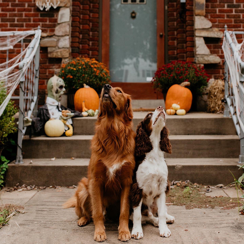 Golden Retriever In 2020 Dog Best Friend English Springer Spaniel Puppy Golden Retriever