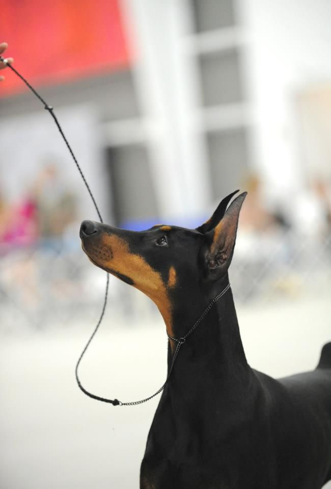Wanted Fifi The Doberman To Win Westminster Incredibly Beautiful