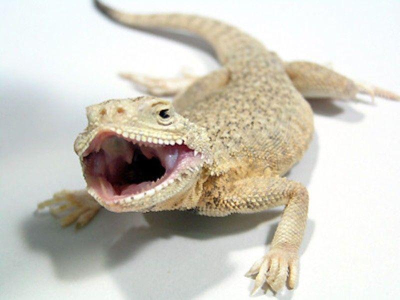 オオクチガマトカゲ 爬虫類 トカゲの基本的な知識と飼育方法 トカゲ トカゲ ペット 爬虫類
