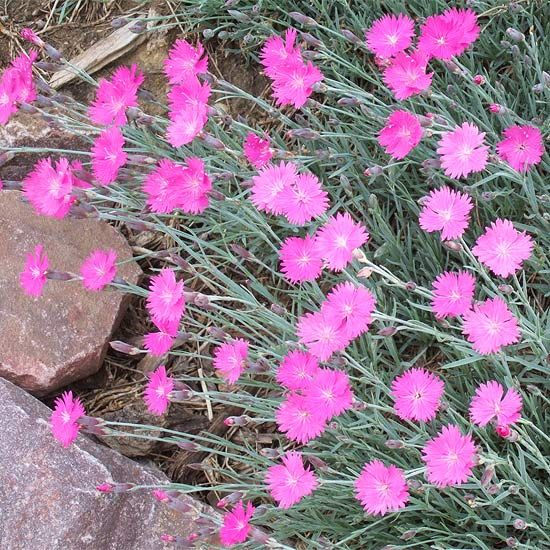 Fire Witch Dianthus Produces Bright Pink Fragrant Flowers That Bloom In Mid