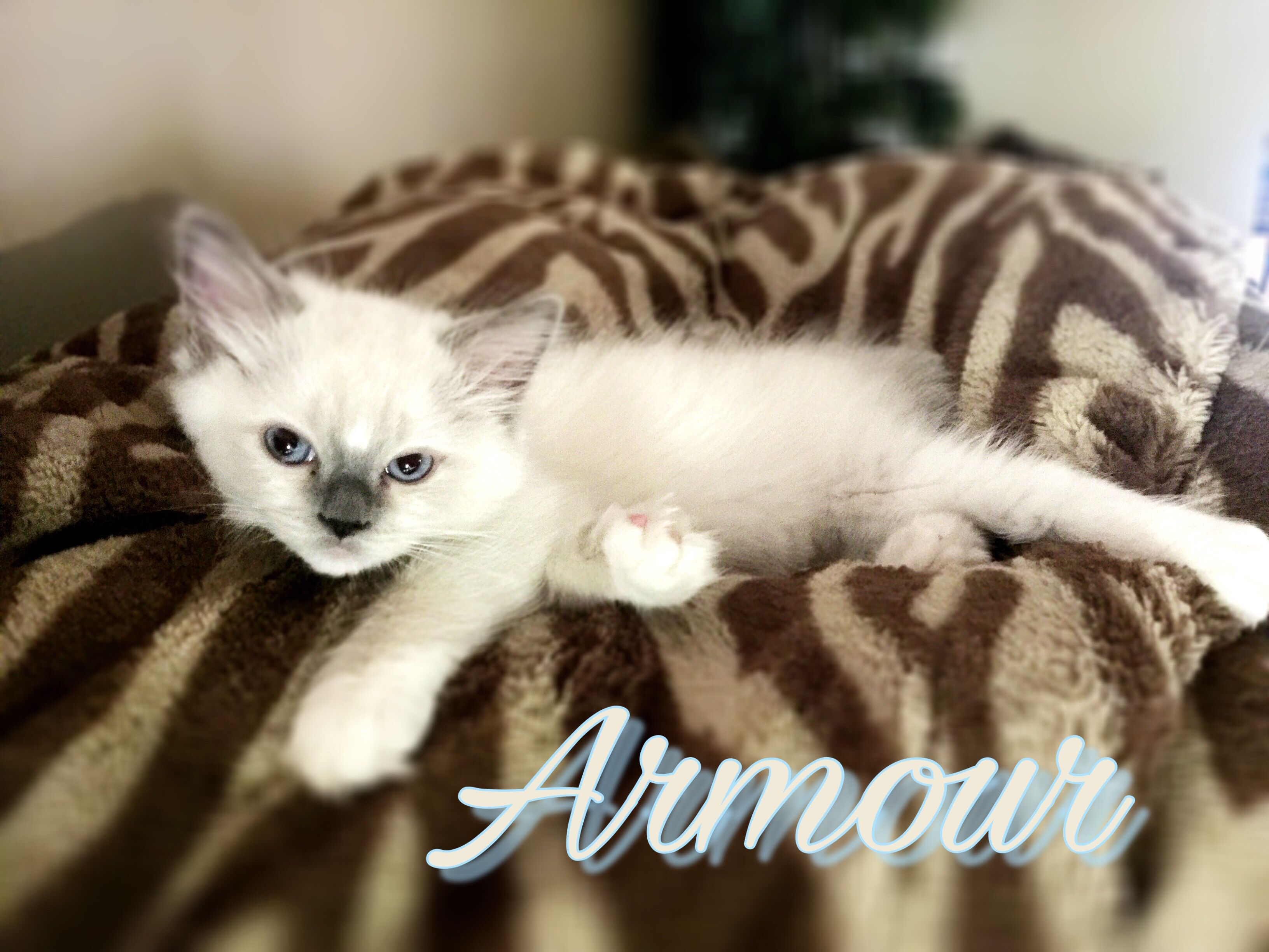 Armour 2 Months Old My New Baby A Blue Mitted Ragdoll Kitten Ragdoll Kitten Ragdoll Cat Ragdoll