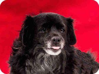 Cocker Spaniel Mix Dog For Adoption In Baldwin Park California