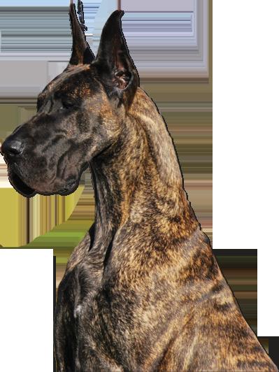 Moonriver Great Danes Litterbox Great Dane Dogs Dane Dog Brindle Great Dane
