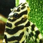 Pleco Identification Numbers Etc Classification List Link Here L134 Photo Owned By Bombhead666 Confused By Plecostomus Fishing Room Freshwater Aquarium