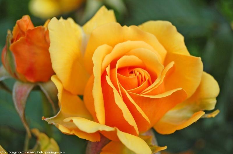 Roses - landscape-photo.net