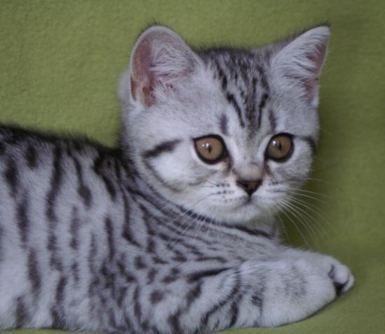 Black Silver Spotted Tabby British Shorthair Brits Korthaar