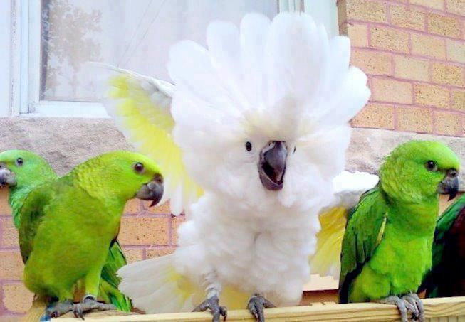 From Pets On Sale In Pakistan Pet Birds Cute Birds Cockatoo