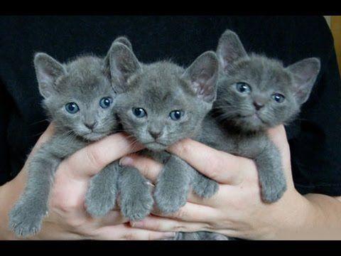 Korat Cat Kittens Korat Cat Kitten Adoption Cute Cats