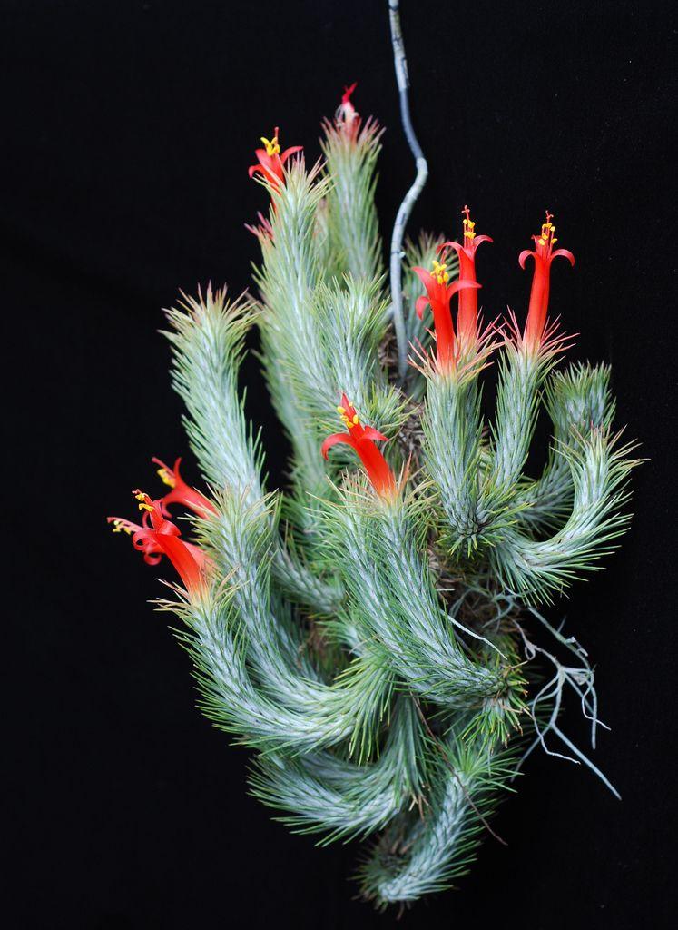 Tillandsia funkiana blooms again   Flickr - Photo Sharing!