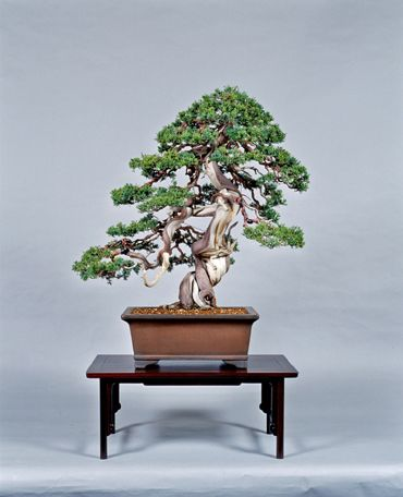 Artofbonsai Org View Topic Profile Peter Warren Juniper Bonsai Bonsai Bonsai Tree