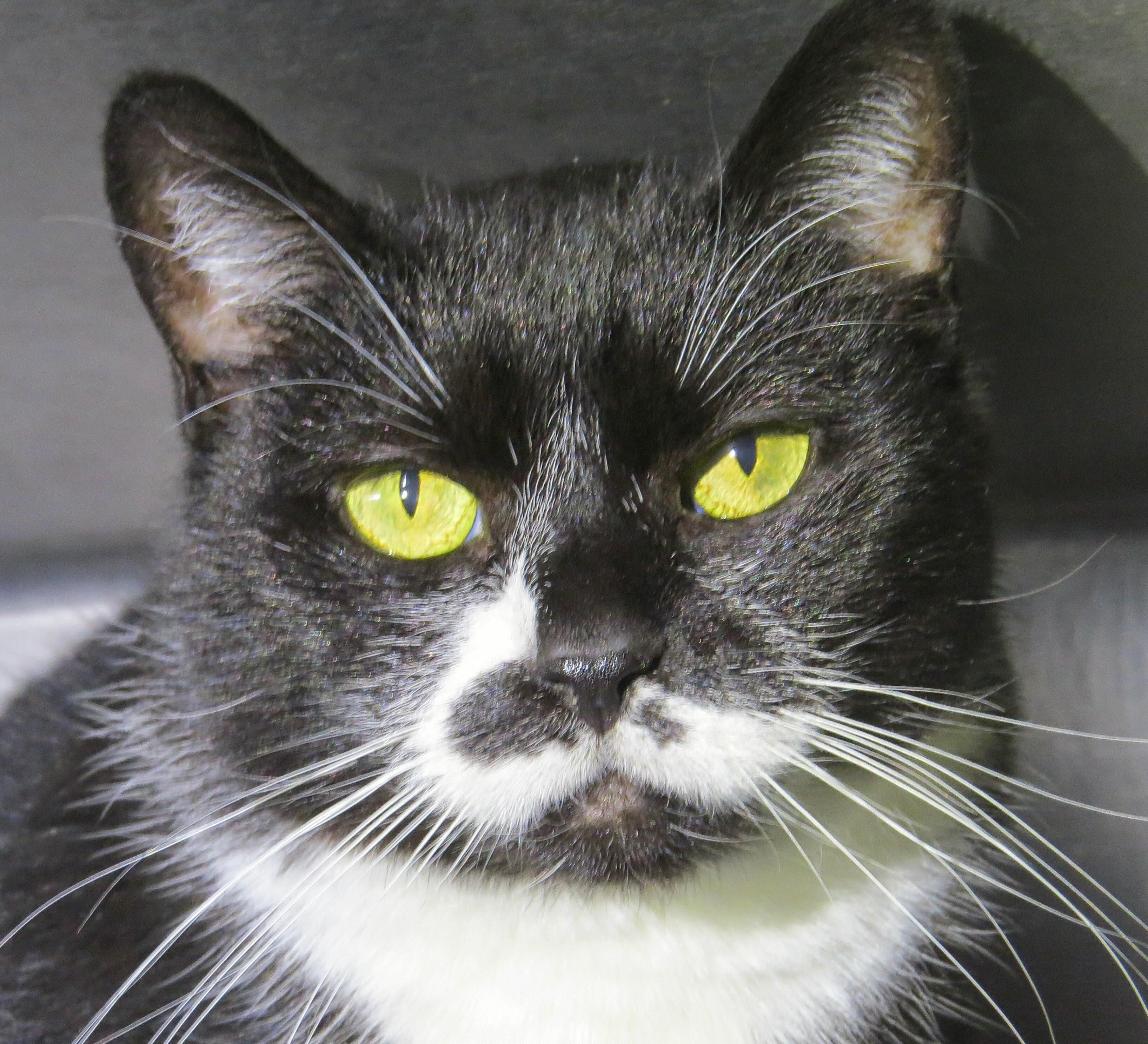 Adopt 5464 Prance on Pets, Cute cats, West babylon
