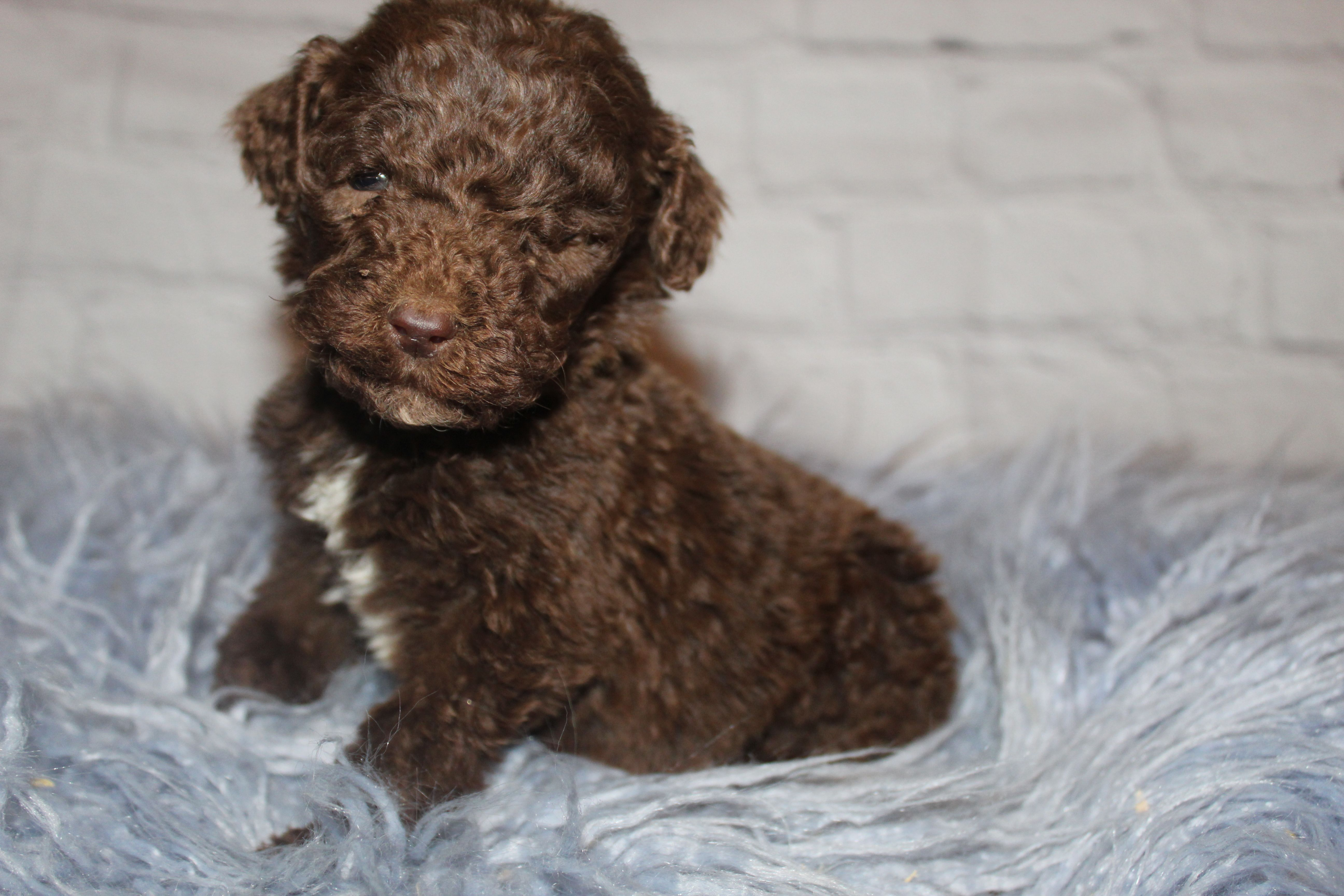 Akc Brown Abstract Yellow Male Pup For Sale In Lucasvile Ohio