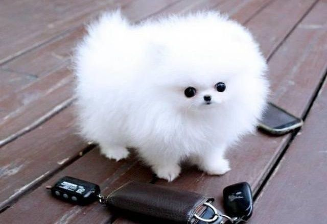 Beautiful Pomeranian puppies FOR SALE ADOPTION from South