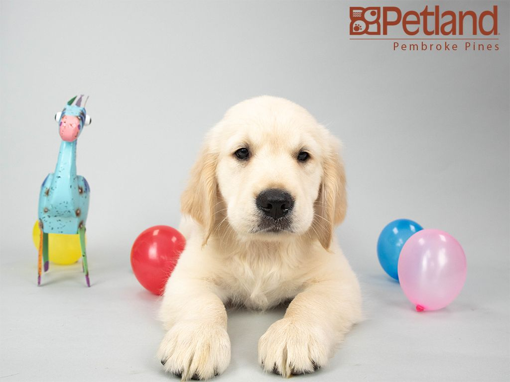 Petland Florida Has Golden Retriever Puppies For Sale Interested In Finding Out More About This Breed Check Ou Puppy Friends Golden Retriever Retriever Puppy