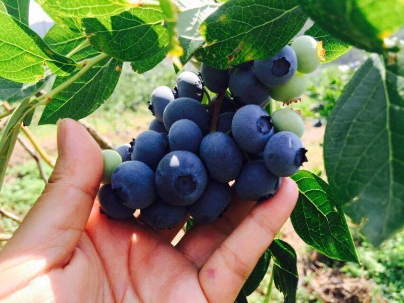 지리산이 길러낸 맛있는 블루베리가 한창입니다. | 산청군청 공식블로그