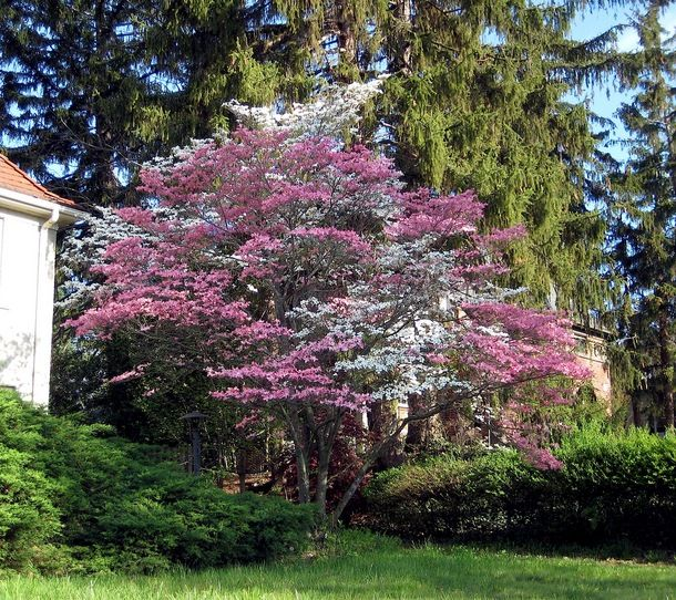 pink & white dogwood tree Dogwood trees, Landscape