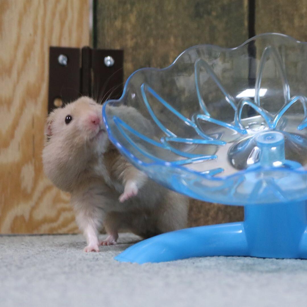 Pin on Interesting Hamster