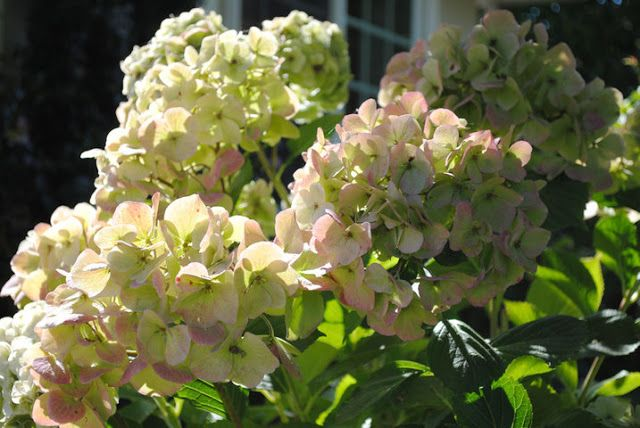 First Discovered In Japan The Name Hydrangea Comes From The Greek Hydor Meaning Water And Angos Meaning Jar Or Vesse Cannoli Poke Cake Ornam