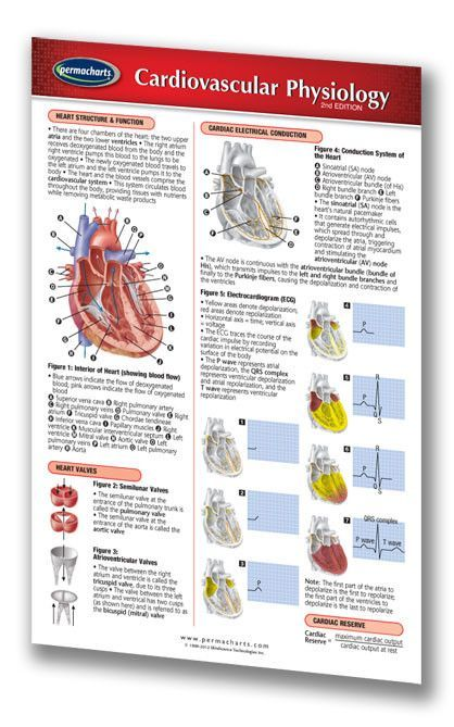 Cardiovascular Physiology - Medical Pocket Chart Quick Reference