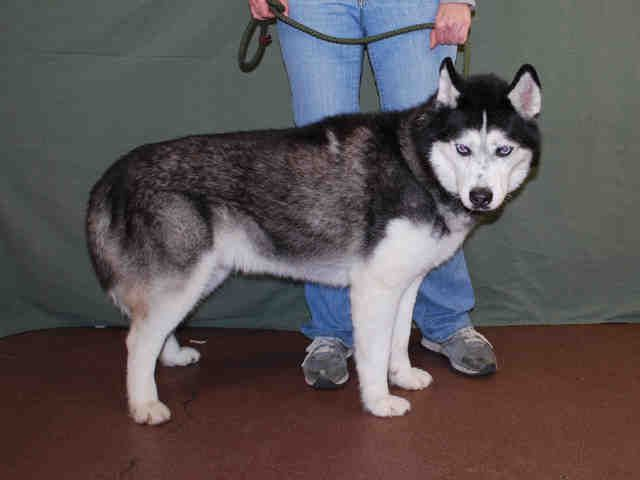 Siberian Husky Dog For Adoption In Louisville Ky Adn 406056 On