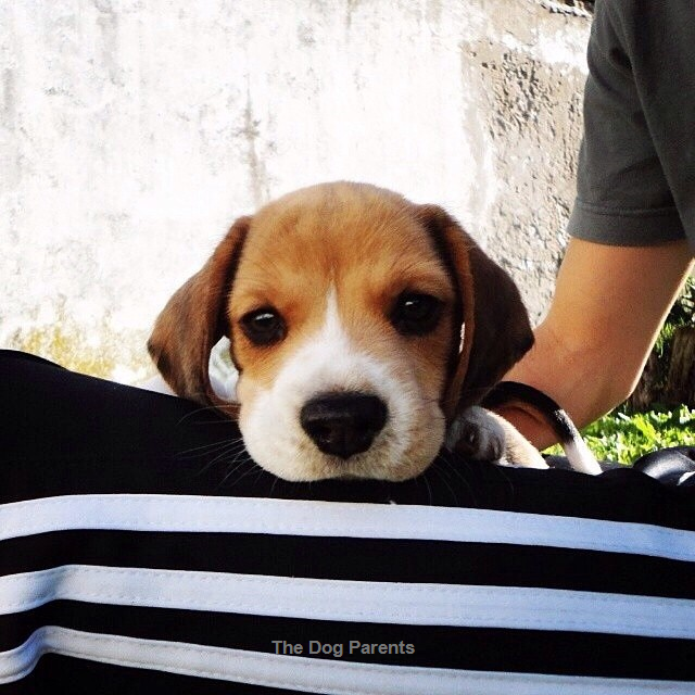 Beautiful Small Beagle Adorable Dog - 95e6a95897a6026885944f4407b2b013  You Should Have_737311  .png