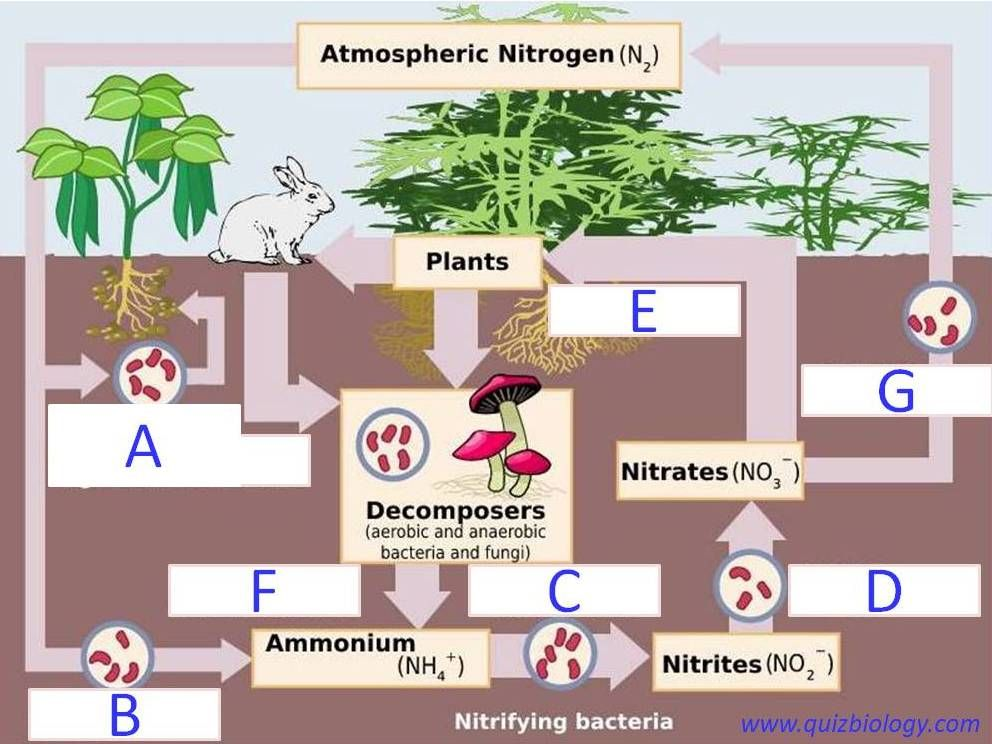 Diagram Quiz On Nitrogen Cycle Nitrogen Cycle Biology Diagrams Stem Activities