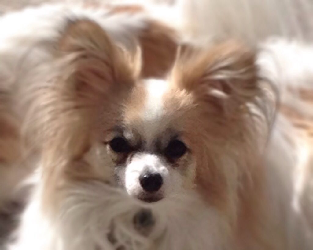 Griffin My Lemon Pap Papillon Dog Papillon Dog Puppy Dogs And Puppies [ 820 x 1024 Pixel ]