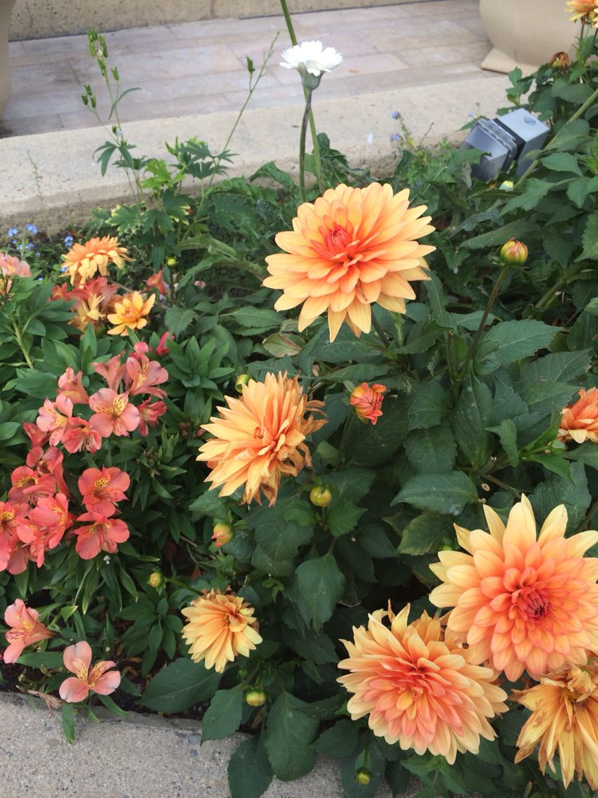 Fall flowers orange dahlias annuals and coral astromeria fall flowers orange dahlias annuals and coral astromeria perennial izmirmasajfo