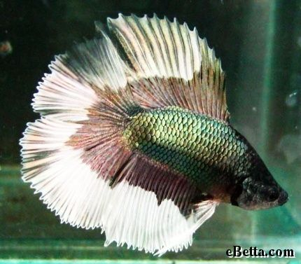 Awesome Double Tail Butterfly Betta Fish How To Take