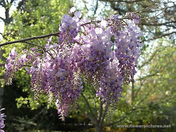 Chinese Wisteria With Images Screen Plants Chinese Wisteria Ornamental Trees