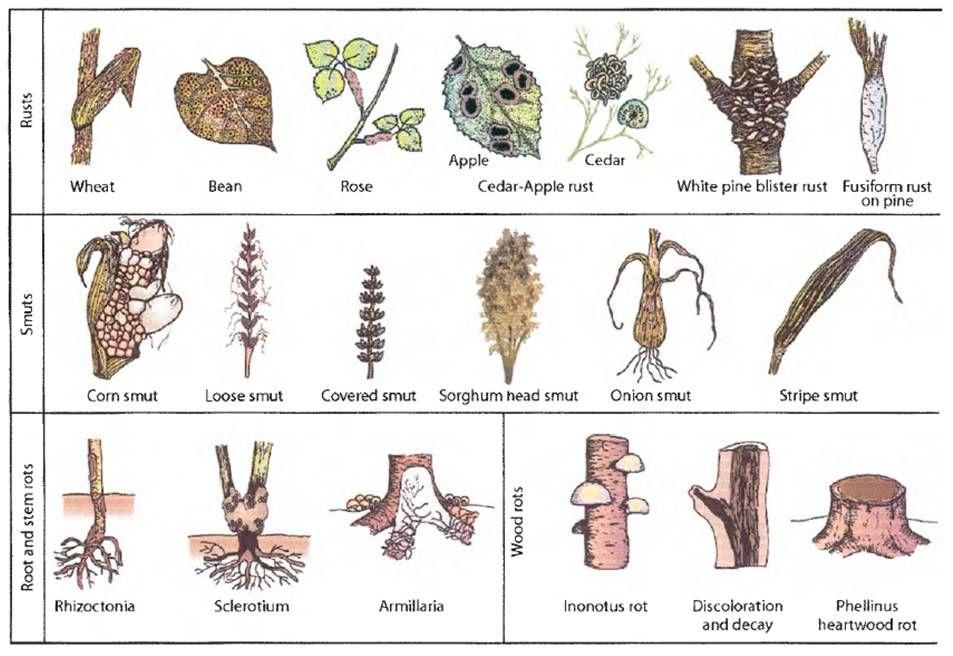 Wheat stem rust - Google 검색