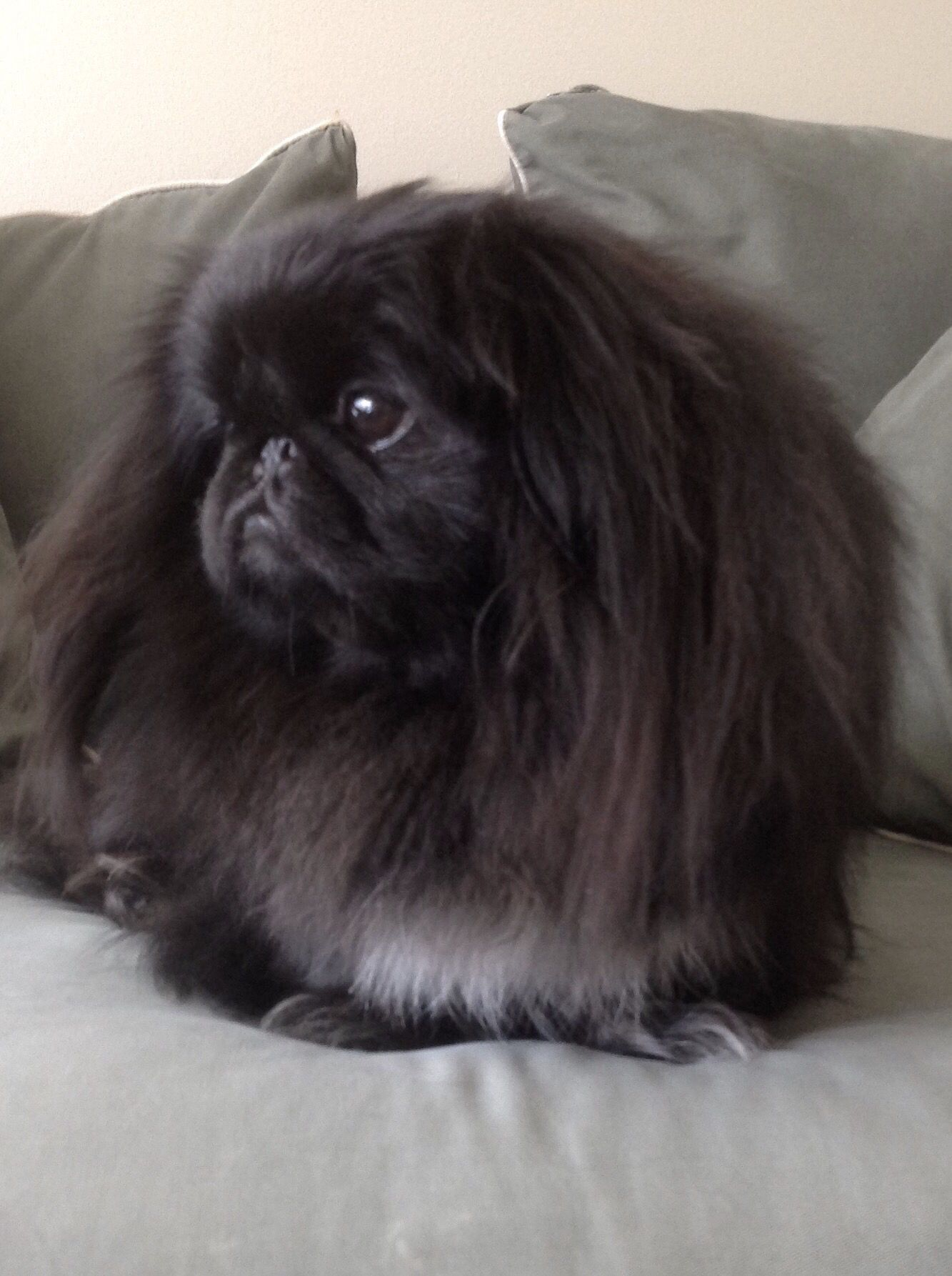 Deep in reflection......beautiful black Peke!