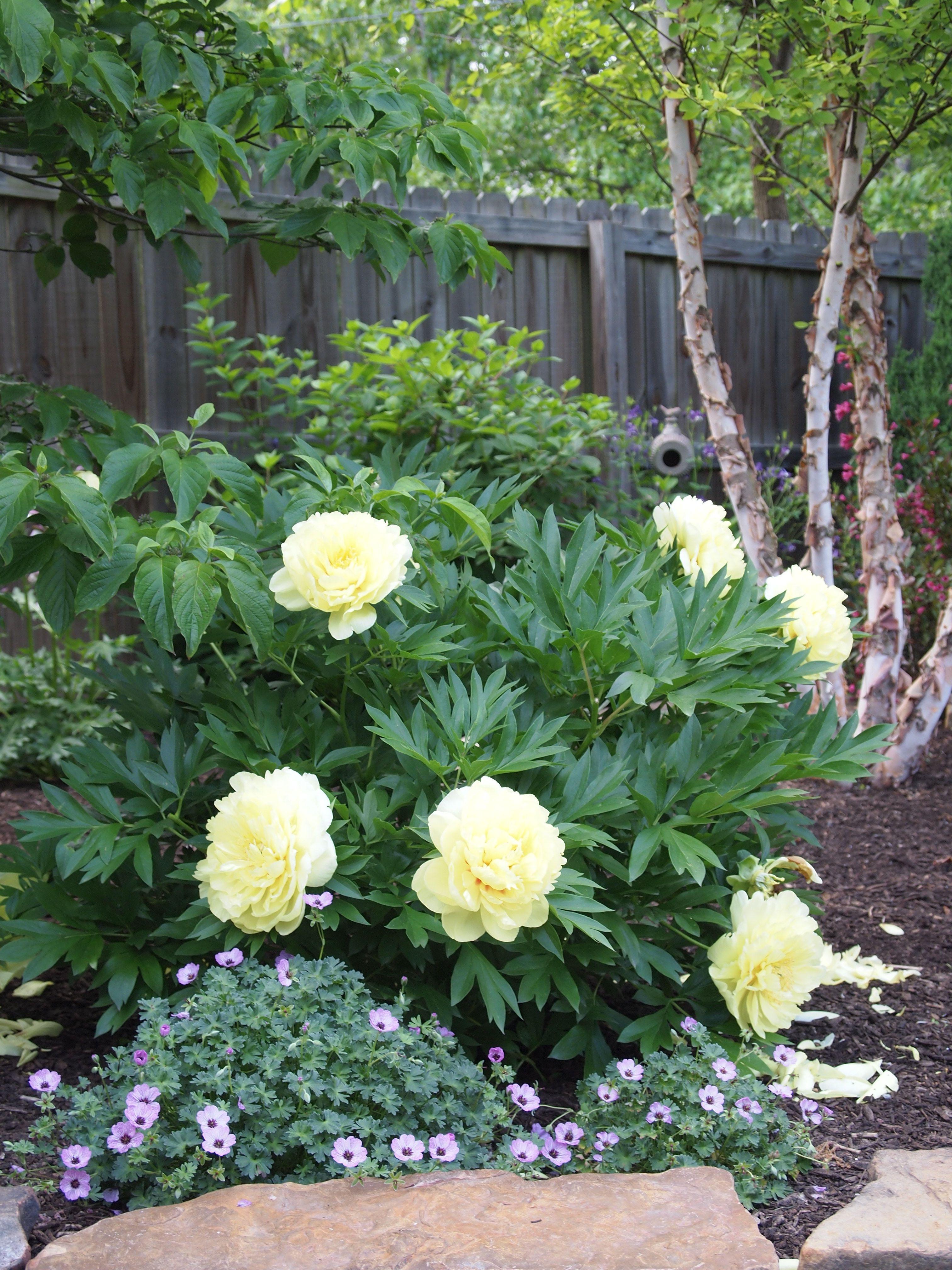 Bartzella Peony With Ballerina Hardy Geranium In Front Peonies Garden Planting Peonies Flowers Perennials