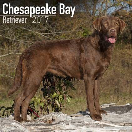 Avonside Hunde Wandkalender 2017 Chesapeake Bay Retriever