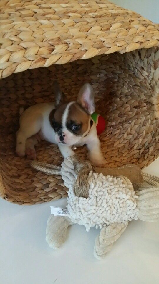 Love This Pup Pup Frenchie