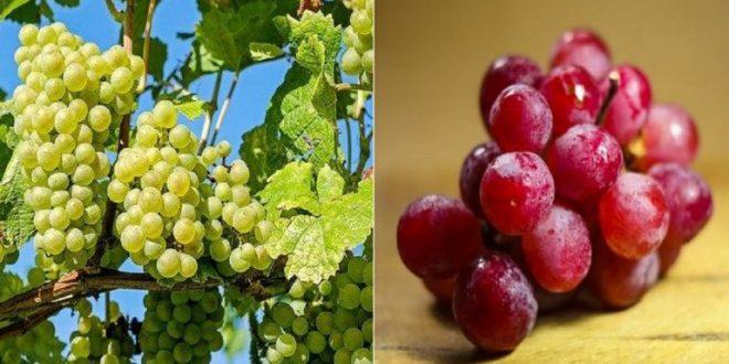 يعد مركب أنثوسيانين هو العامل الأساس المؤثر على لون العنب وعدم وجوده هو ما يمنح للعنب لونه الأخضر بينما وفرته هي ما تمنح العنب لونه ا Grapes Fruit Health