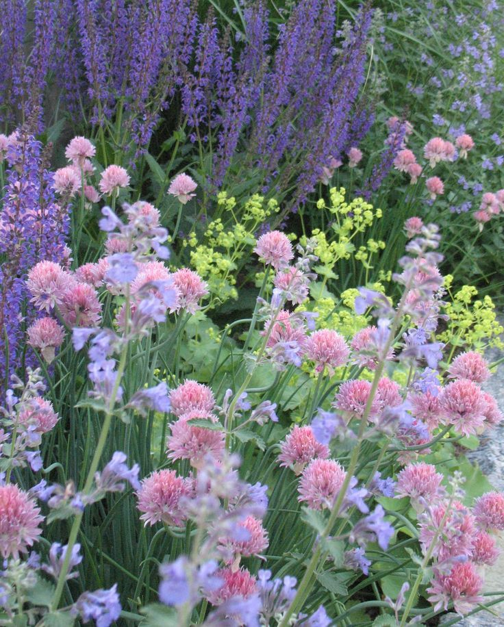 Photo of Combination: Salvia, Alchemilla, Pink Chives, Nepeta