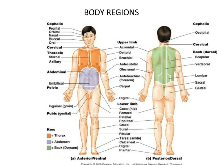 Body Regions Medical Terminology Nursing Surgical And Medical
