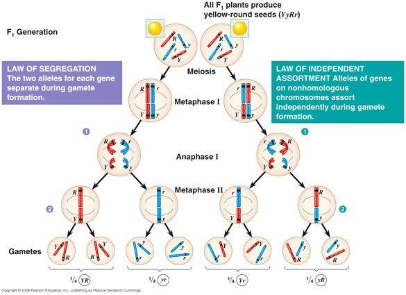 Segregation & independent assortment   Genetics   Pinterest