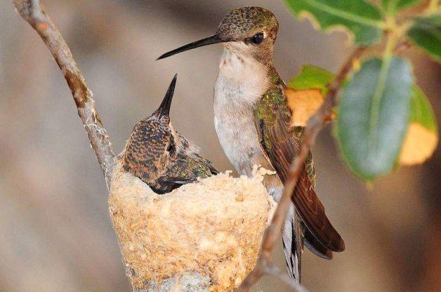 Tip For Getting Hummingbirds To Nest In Your Garden Gardening Designing Hummingbird Nests How To Attract Hummingbirds Backyard Birds,Ginnie Pig