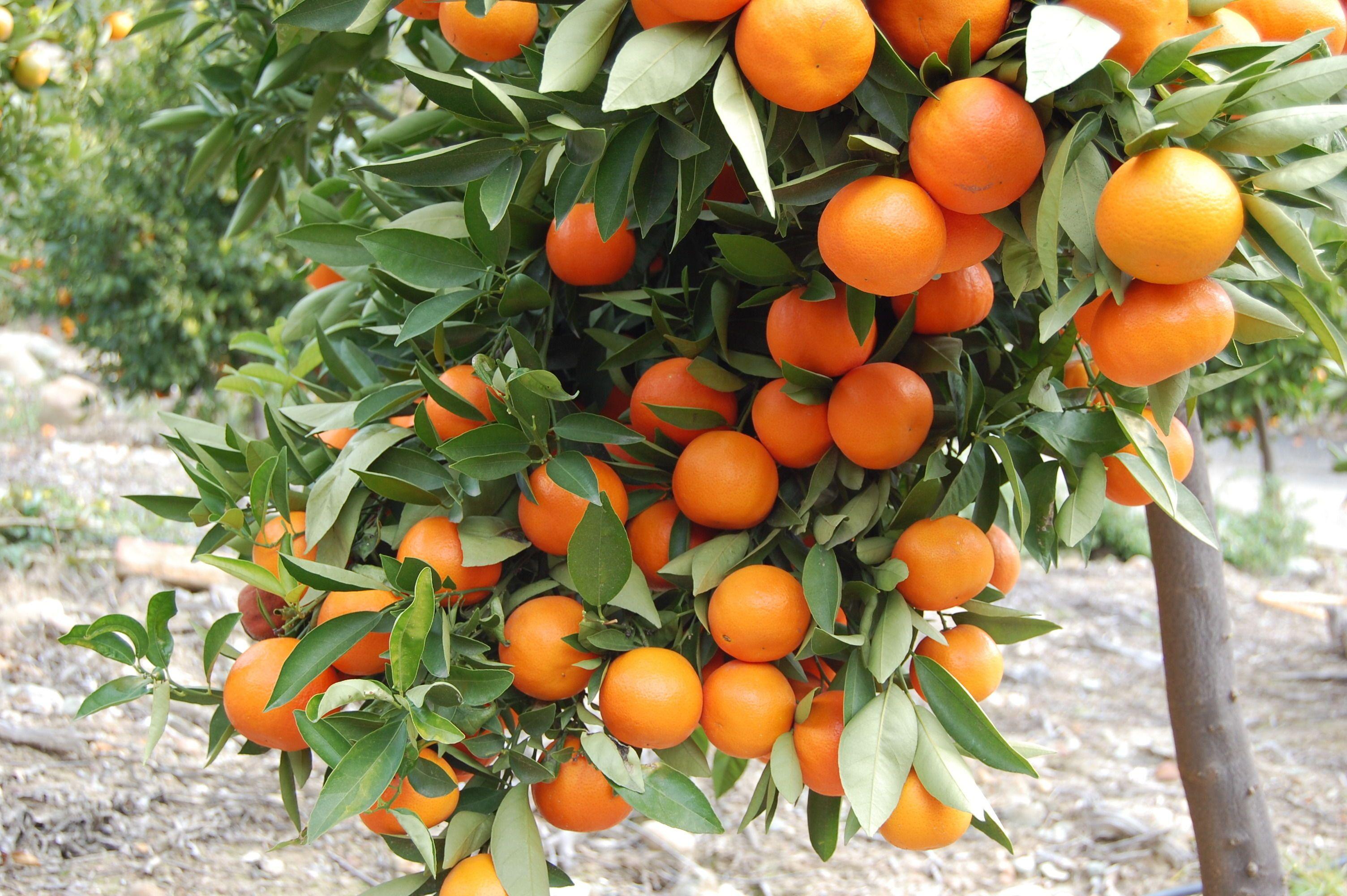 Or orange fruit hd wallpaper - Orange