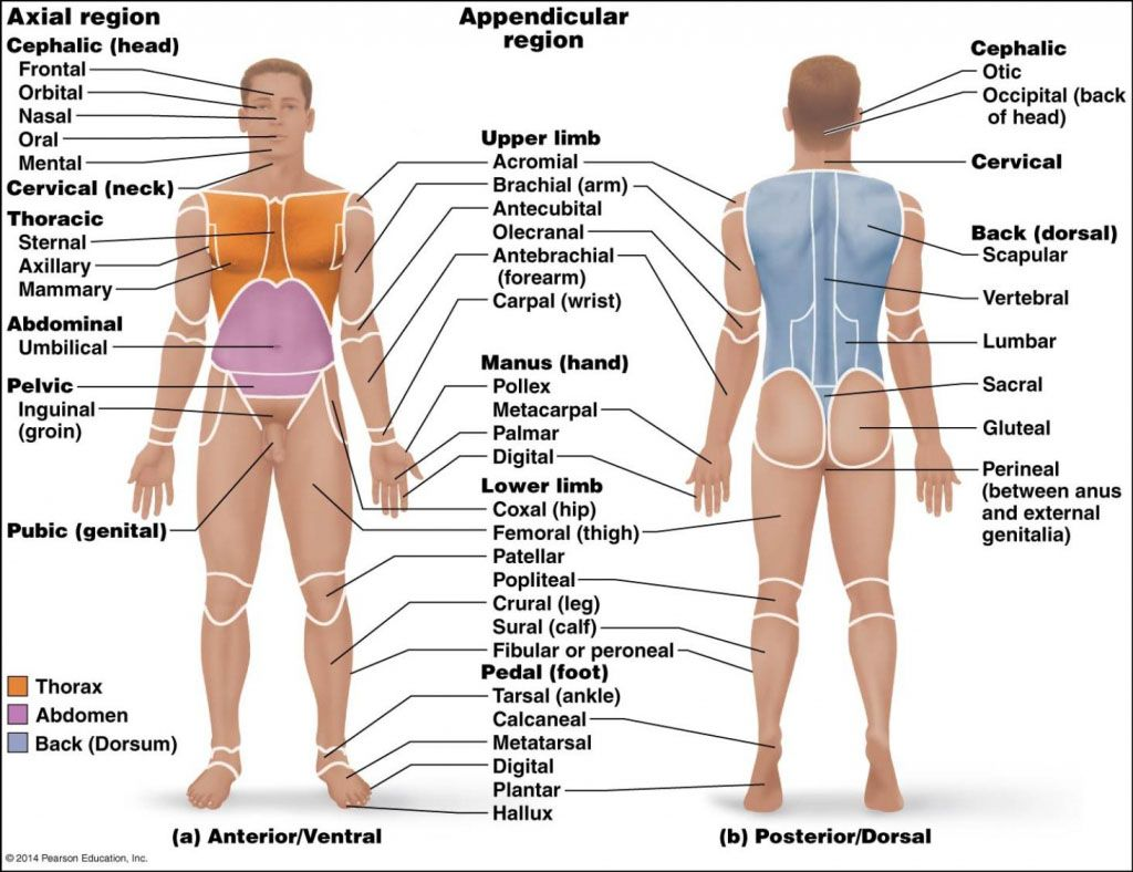 Human body anatomy landmarks anterior ventral view and posterior ...
