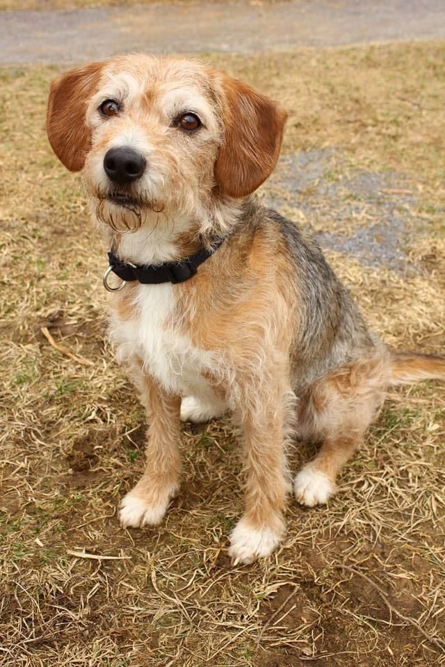 Adopt Leo on Petfinder Wire fox terrier, Beagle mix