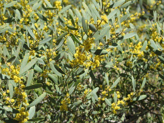 Acacia Iteaphylla Drought Tolerant Plants Xeriscape Acacia