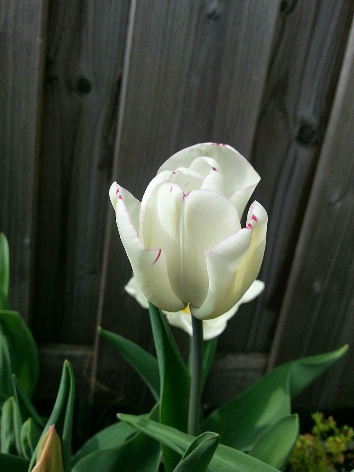 makes me feel good: Love my tulips - part one